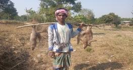 চাঁপাইনবাবগঞ্জে তীর ধনুকে কমছে উপকারী প্রাণী বেজি