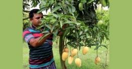 চাঁপাইনবাবগঞ্জে বাণিজ্যিক ভাবে চাষ হচ্ছে গোল্ডেন ম্যাংগো