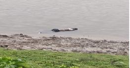 গোমস্তাপুরে মহানন্দা নদীতে এক ব্যক্তির লাশ ভাসছে
