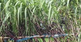 ফিলিপাইনের আখ এখন চাষ হচ্ছে চাঁপাইনবাবগঞ্জে