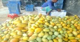 পাকা আমের সুবাসে মাতোয়ারা চাঁপাইনবাবগঞ্জের প্রকৃতি