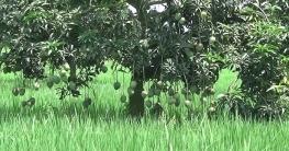 চাঁপাইনবাবগঞ্জে নতুন জাতের আম ইলামতি