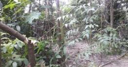 শিবগঞ্জে পূর্ব শত্রুতার জের ১০টি গাছ কর্তনের অভিযোগ