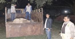 অবশেষে নীলগাইটির ঠাঁইহলো গাজীপুর বঙ্গবন্ধু সাফারি পার্কে