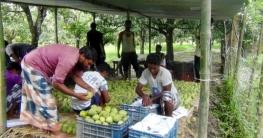 চাঁপাইনবাবগঞ্জের হিমসাগর যাচ্ছে সুইডেনে