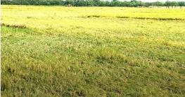 চাঁপাইনবাবগঞ্জে ঝড়ো বৃষ্টিতে পানিতে তলিয়েছে বোরো ধান