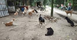 ভোলাহাটে পোল্ট্রী দোকানের সামনে ক্ষুধার্ত  কুকুরের ঘোরাঘুরি