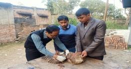 শিবগঞ্জে আহত অবস্থায় বিরল প্রজাতিরঈগল পাখি উদ্ধার